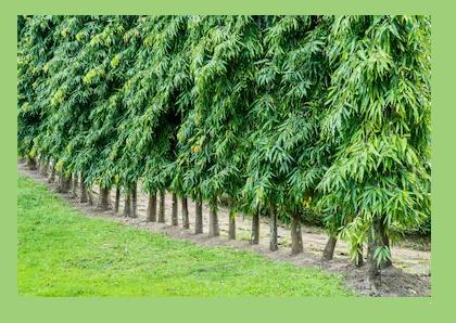 daily tactics guru-Ashoka Tree