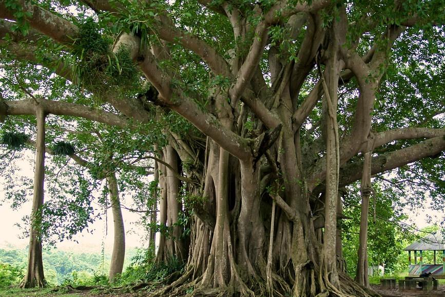 daily tactics guru-Banyan Tree